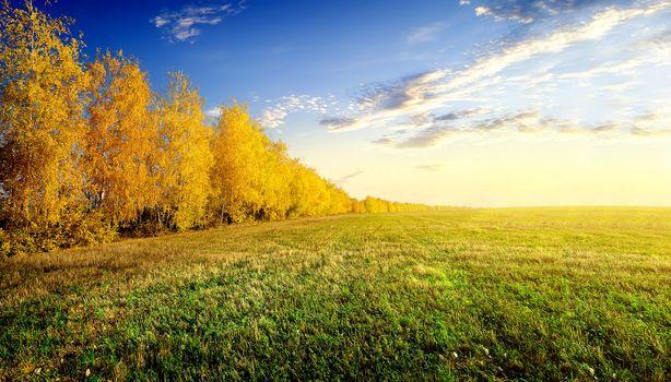 Birches on field