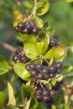 cluster ripe aronia (Aronia arbutifolia) on bush
