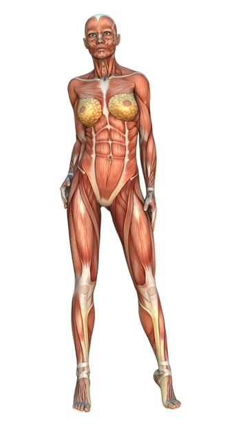 3D digital render of a female figure with muscle maps position isolated on white background