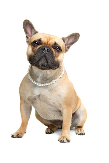 French Bulldog with a pearl collar