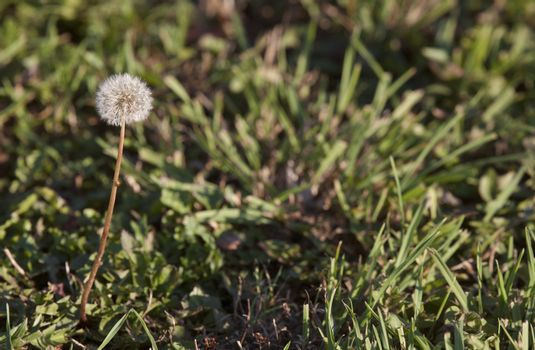 Dandelion in Seed