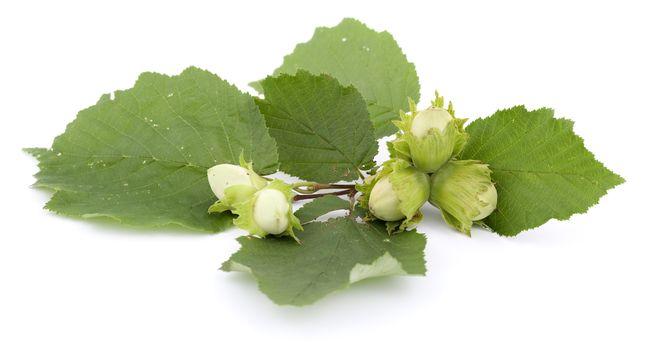 branch of unripe hazelnut on white background