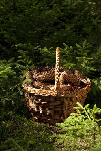 basket full of cone spruce a stands in forest