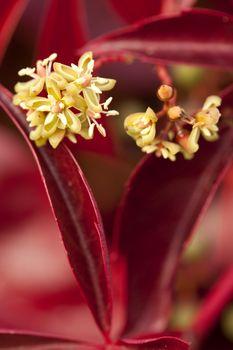 Boston ivy  (Parthenocissus tricuspidata) with flower