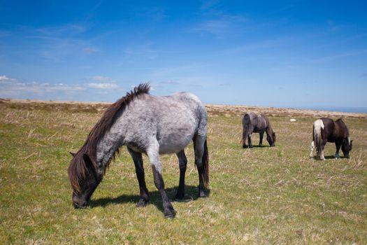 Wild Exmoor Ponies on the summer pasture,Great Britain