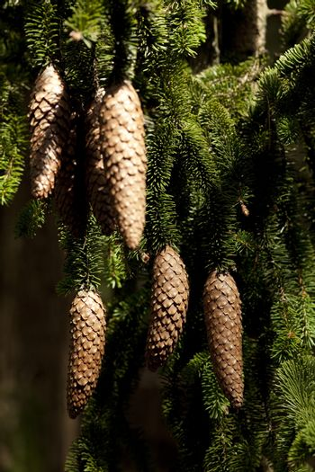 group cone hang on branch spruce