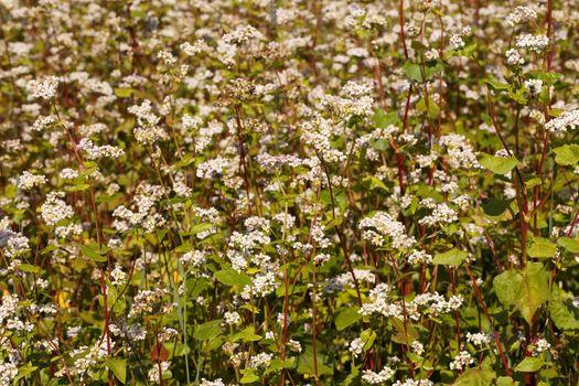 blossom field of buckwheat(Fagopyrum Mill)