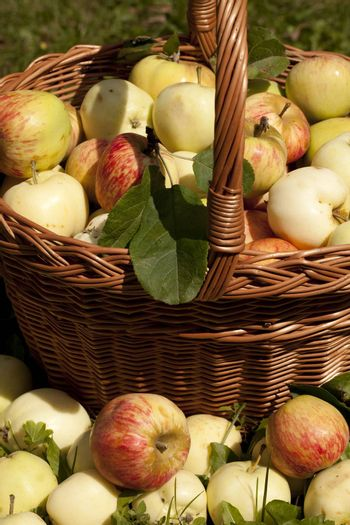 full basket of different apples stand on grass