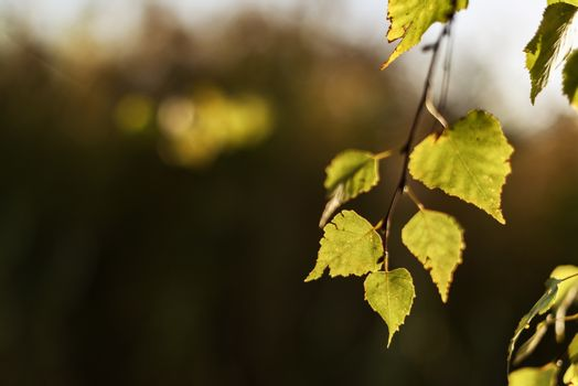 leaves in autumn evening light