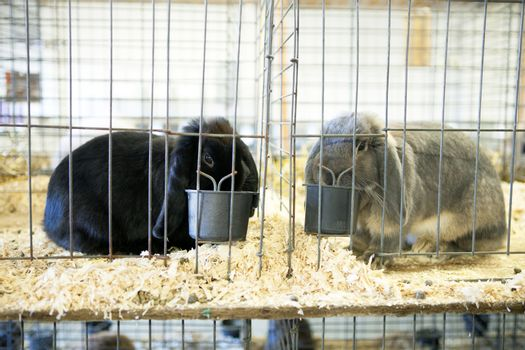 Cute caged bunnies on display one black and one gray French Lop rabbit referred to as a dust bunny.