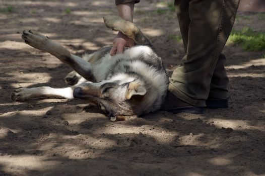 A gamekeeper fondles a young wolf lying on his back in the sand.