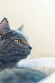 Gray cat profile