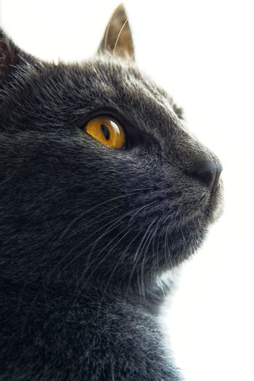 Gray cat profile portrait