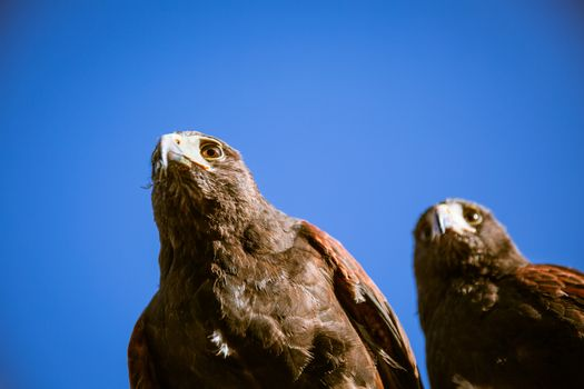 Majestic eagles in London