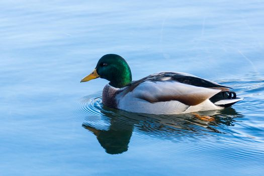 The photo shows a duck floating on the water.