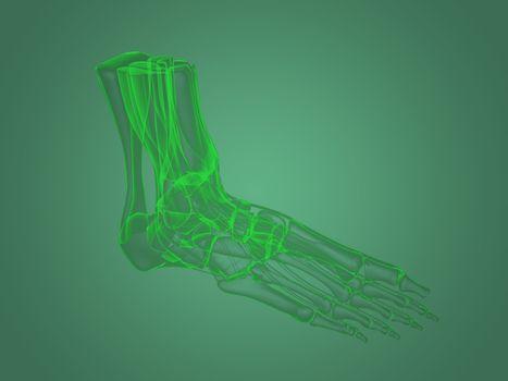 X-ray foot anatomy