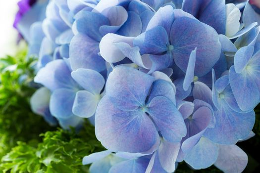 Close up of a group blue hydrangea