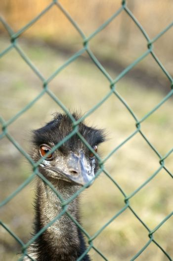 The head of a domesticated and bred Emu behind a fence.