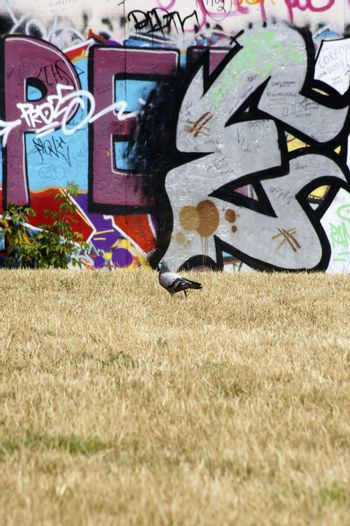 Berlin, Germany - June 16, 2014: Before and colorful painted with graffiti back of the East Side Gallery, a pigeon goes on a dried marsh area on 16 June 2014 in Berlin.