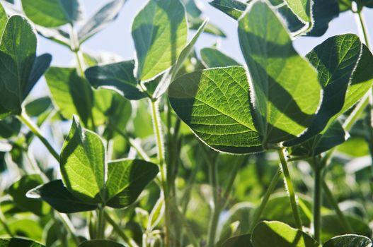 Soy plants, close up