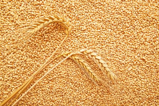 Wheat grains and ears