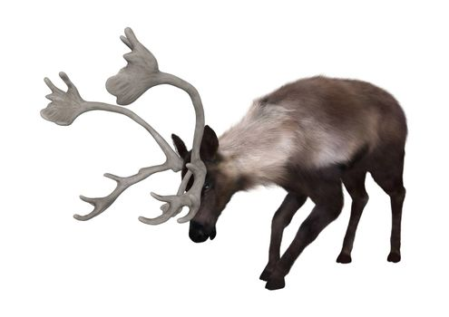 3D digital render of a caribou grazing isolated on white background