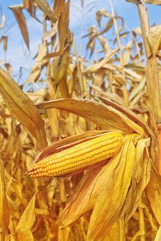 Ripe maize corn on the cob