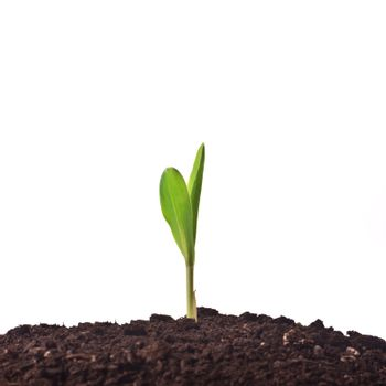 Young corn plant sprout
