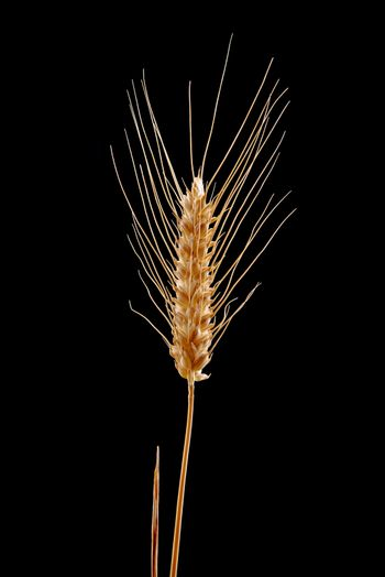 Wheat ear isolated on black background