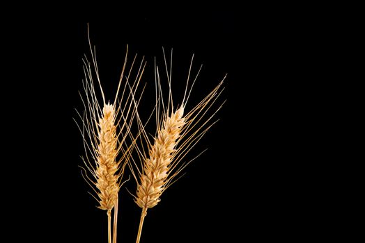 Wheat ears isolated on black background