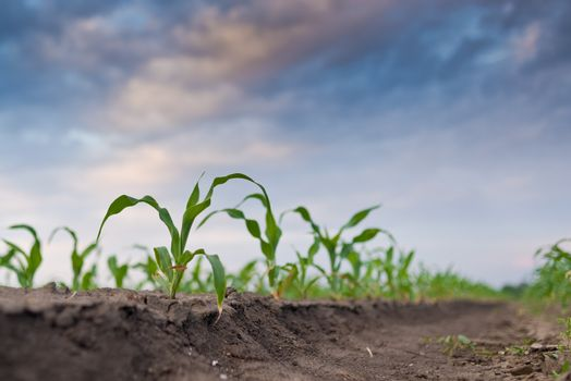 Young green corn in agricultural field