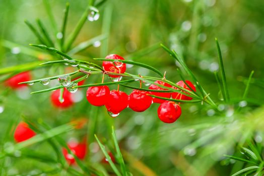Christmas fir twig with red berries