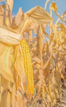 Maize corn ear on stalk