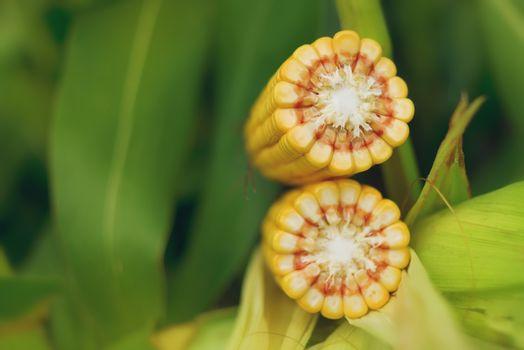 Corn Maize Cob on stalk in field