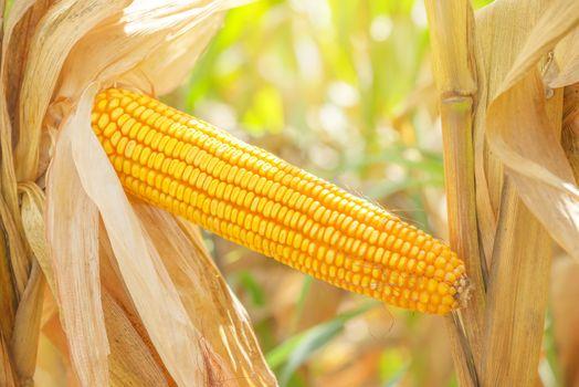 Corn ear on stalk