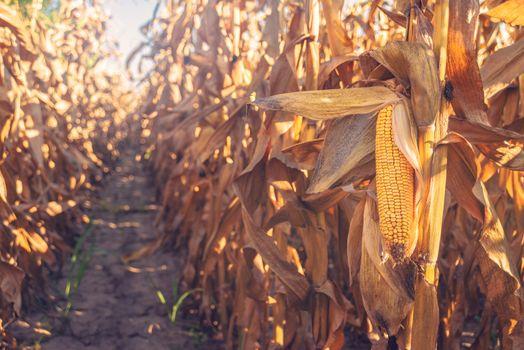 Harvest ready corn on stalk in maize field