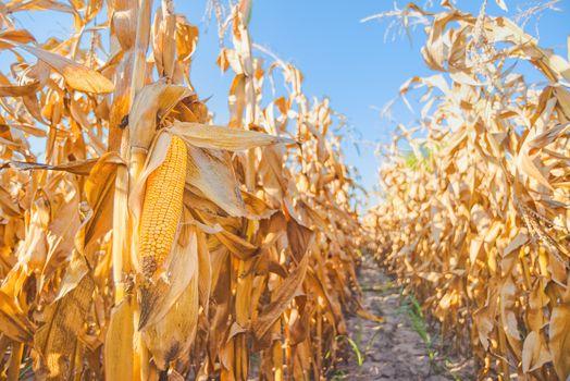 Maize ear on stalk in corn field