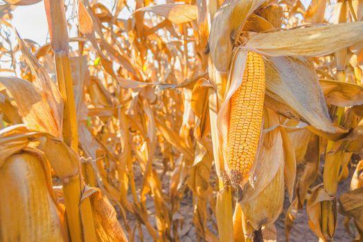 Ripe corn on stalk in maize field