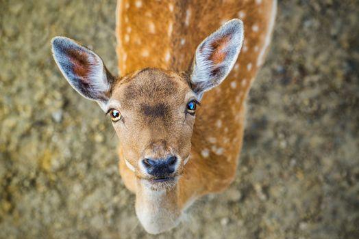 Beautiful young fallow deer
