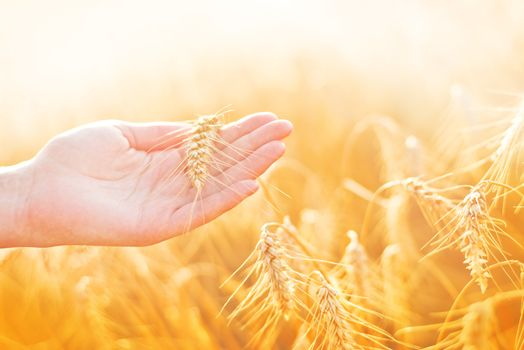 Female hand in cultivated agricultural wheat field.