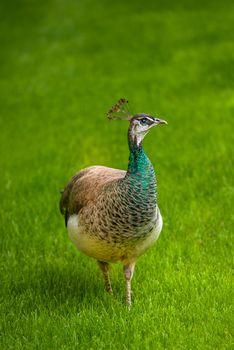 Beautiful Female Peacock Bird