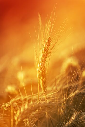 Golden Wheat Crops in Agricultural Field