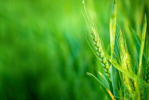Green Wheat Head in Cultivated Agricultural Field