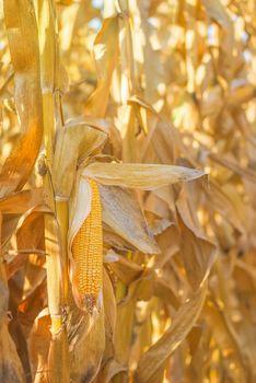 Maize cob ear on stalk