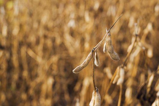 Harvest ready soy bean field