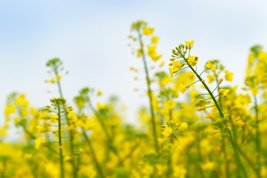 Oilseed Rapeseed Flower Close up in Cultivated Agricultural Fiel