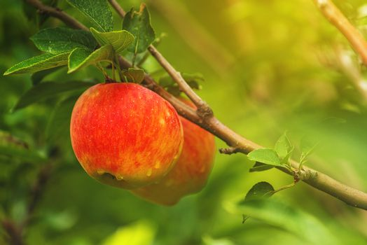 Red applea on branch