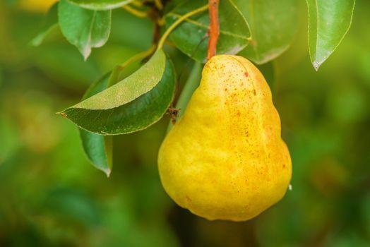 Organic pear on branch