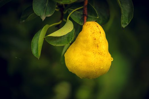 Pear on branch