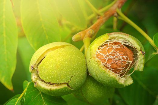 Ripe open green walnut fruit on branch